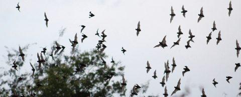 El murciélago, un aliado para la polinización del agave del tequila en México