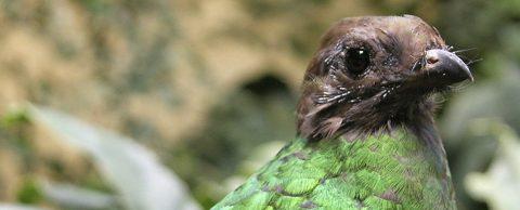 Quetzal mexicano se reproduce en cautiverio gracias a plan de conservación