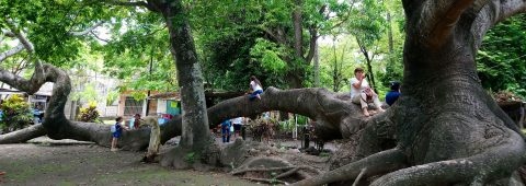 The kapok: A sacred tree believed to be Cortes's entryway into Mexico