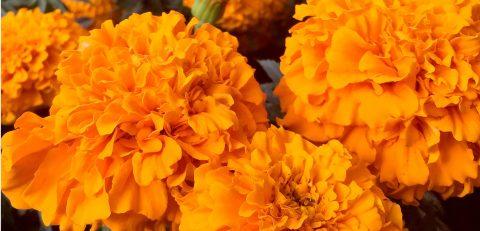 Tradición de la flor de cempasúchil para el Día de Muertos pervive en México