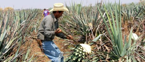 El tequila mexicano se protege contra los efectos del cambio climático