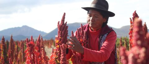 Bolivian growers seek denomination of origin for royal quinoa