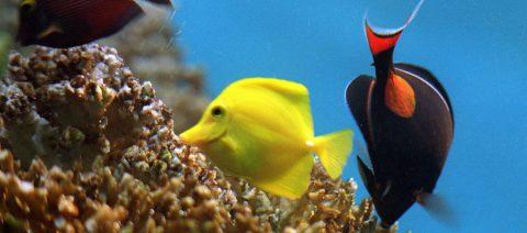 Descubren un mecanismo en peces para poder ver en profundidades del océano