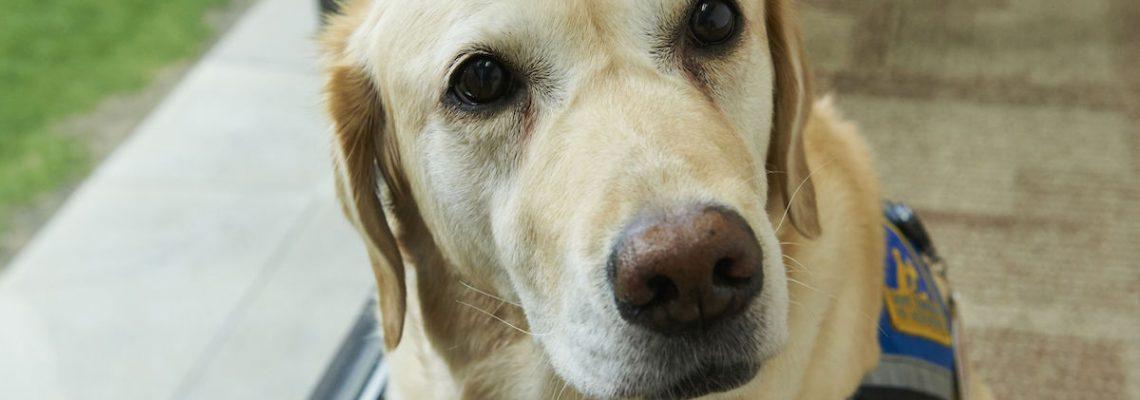 Cientos de perros estadounidenses participan en investigación contra el cáncer
