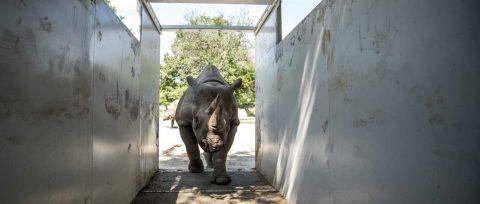 Europa abre perspectivas de futuro en África al rinoceronte negro del Este