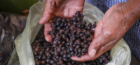 Nucú, la hormiga comestible que se atrapa en la época de lluvias en México