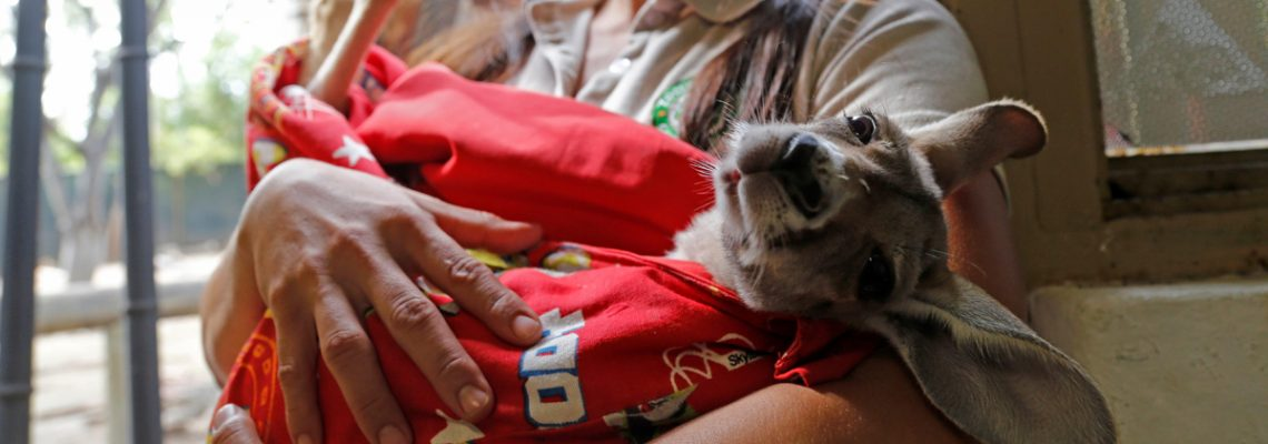 Khya, a baby kangaroo being raised by humans in western Mexican city