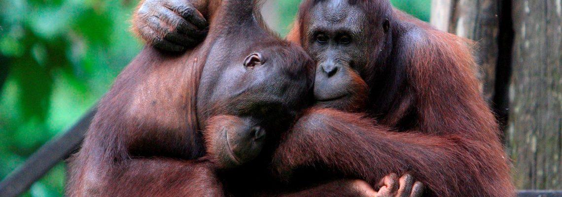 Plantaciones de palma afectan a orangutanes de Borneo