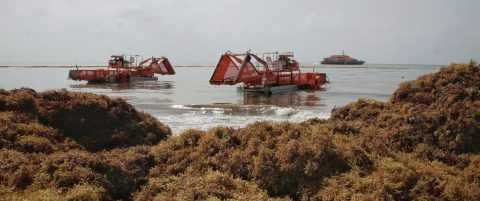 Illegal dumping of kelp causing ecological damage in Mexican Caribbean