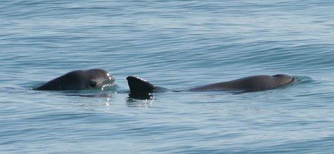 Estiman que quedan de 6 a 19 vaquitas marinas, amenazadas por redes de pesca