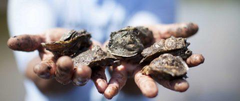 Estudio de Oregón halla en mariscos unos plásticos que salen de las lavadoras