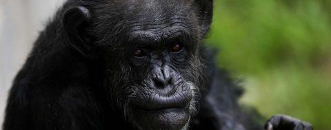 Chimpancés escuchan música de piano y marcan el ritmo con palmas y pies