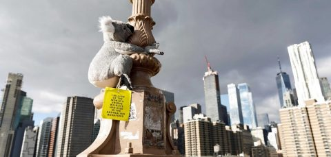 Koala toys invade NY in fundraising campaign for fire-ravaged Australia