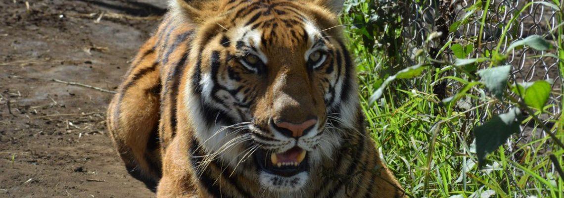 Guatemala envía 12 tigres y cinco leones rescatados a un santuario de Sudáfrica