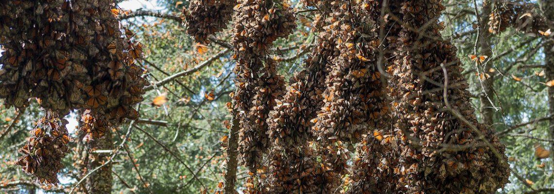 Acechan amenazas a los defensores de la mariposa monarca en México