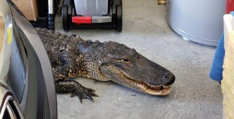 Un hombre de Florida encuentra un caimán de más de 2 metros en su garaje