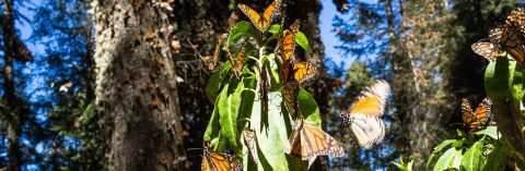 Illegal logging in Mexico's monarch butterfly reserve falls 40 percent