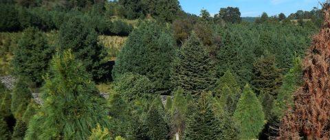 Cambio climático provoca aumento de plagas en árboles de Navidad