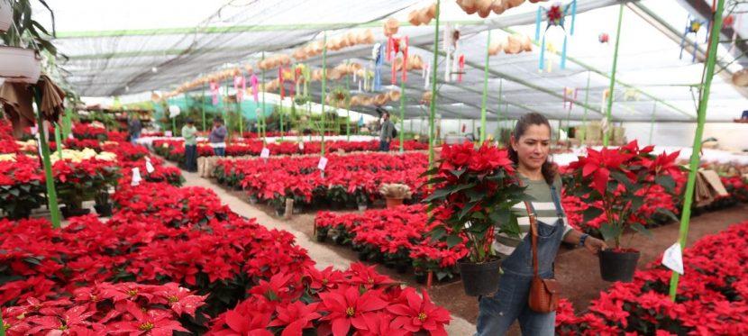 La flor de Nochebuena, un símbolo de identidad de la Navidad mexicana