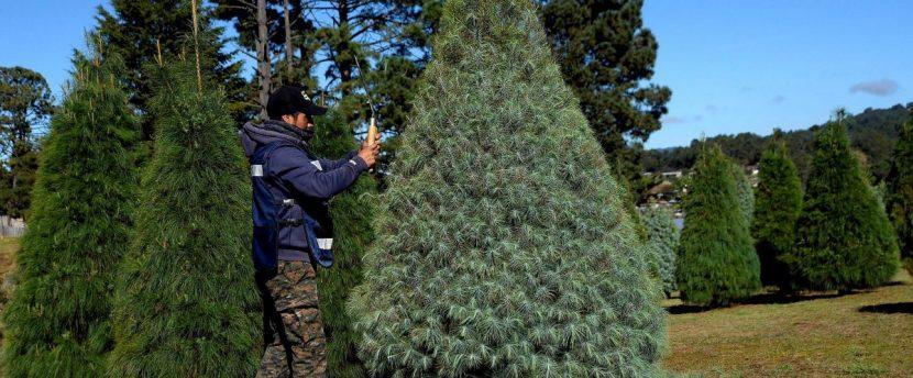 Indígenas mexicanos siembran árboles de Navidad con éxito en el sur del país