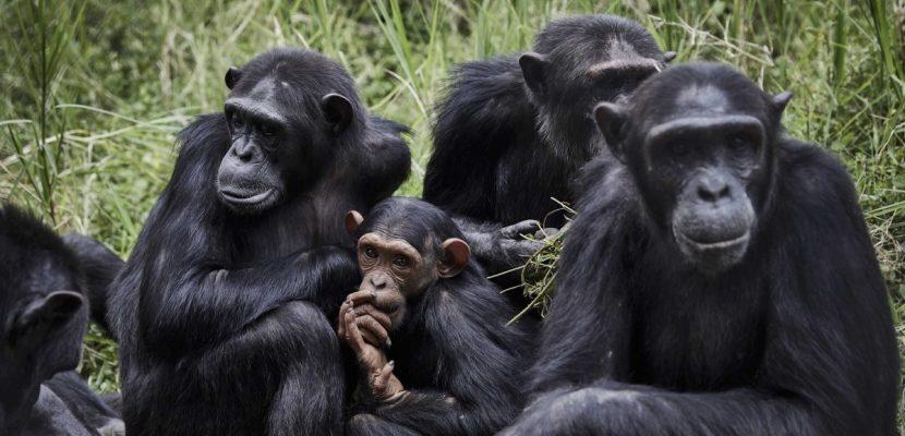 Los chimpancés muestran mayor diversidad de comportamiento en entornos variables