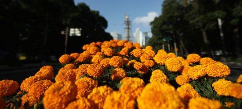 Tradición y color inundan Ciudad de México con miles de flores de cempasúchil