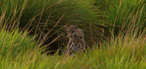 Siete décadas después, el yaguareté vuelve al Parque Iberá de Argentina
