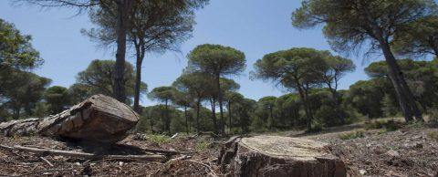La pared celular de los pinos, solución para acabar con la plaga de nematodo