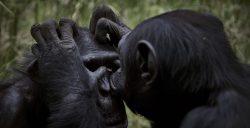 Los chimpancés, como los humanos, se unen ante las amenazas de otros grupos